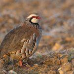 Partridge bird - myth
